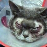 Woman Spends 1 100 On Plastic Surgery For Her Cat As She Thinks It S Ugly Mirror Online