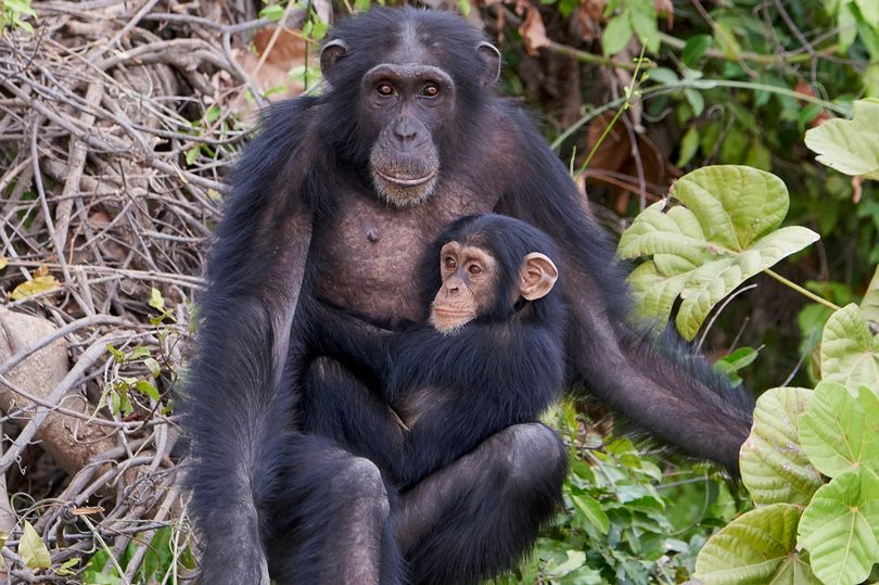 Chimpanzee Meat Being Served as a Delicacy in the UK and US