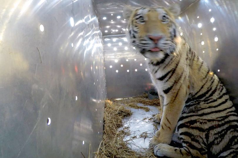 Siberian tiger shot and butchered by 'monsters for use in Chinese medicine'