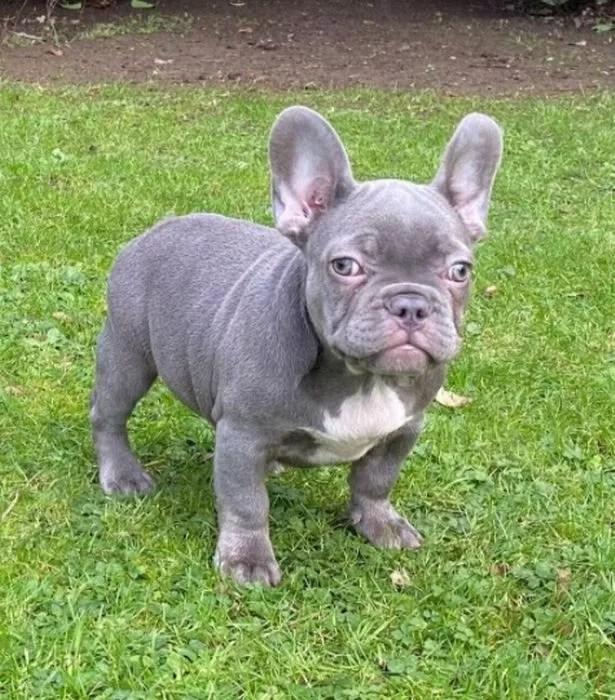 French bulldog puppy Harley
