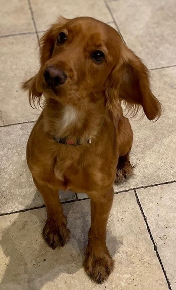 Oscar a 16-month-old Cocker Spaniel who died after eating a face mask