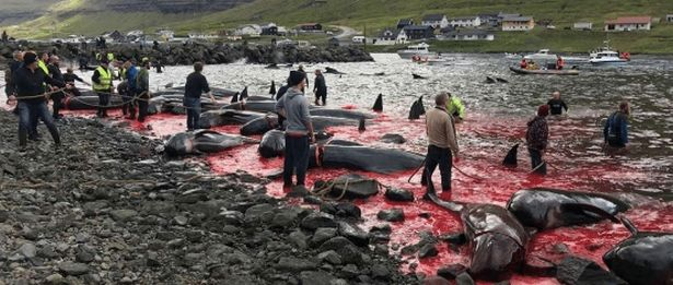 Large groups gather on the shores to kill groups of pilot whales and dolphins