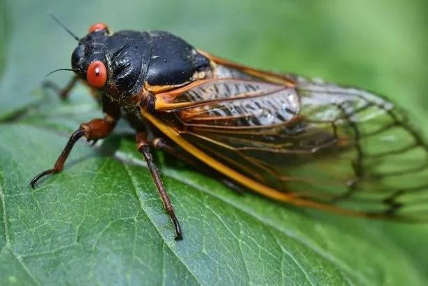 a Magicicada periodical cicada