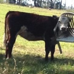 F1 Racing Chair Wicker Chairs Lowes Cow Stuck In Video: Animal Has To Be Rescued By The Rspca After Getting Its Head ...