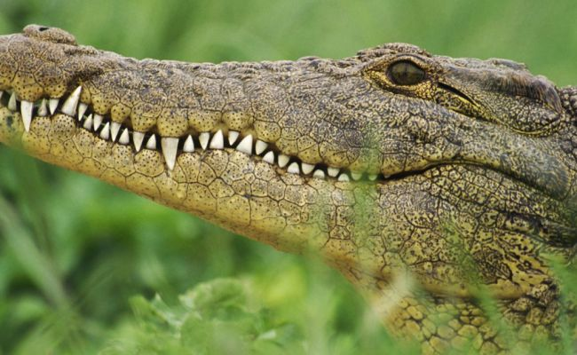 Killer 16ft Crocodile S Bones And Jaw Found By Mum On