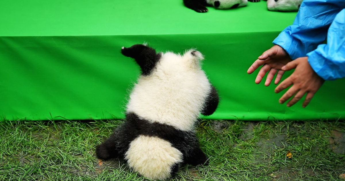 baby panda does a