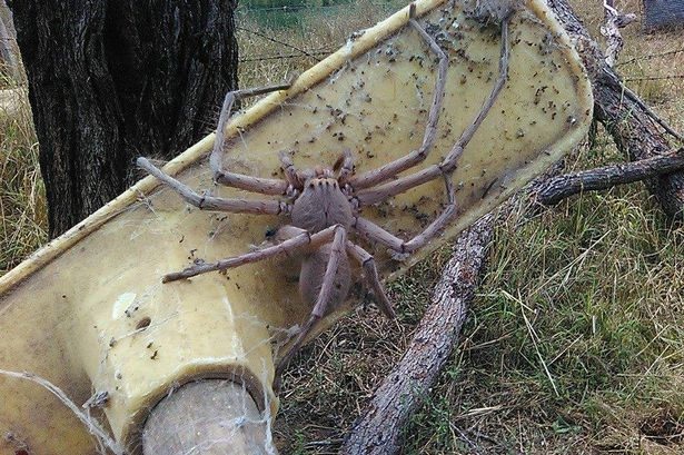 Biggest Spider World Real
