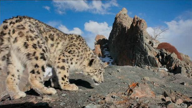 Planet Earth 2 Snow Leopard Episode