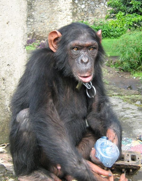 Horrors of great ape trafficking exposed Chimp captured