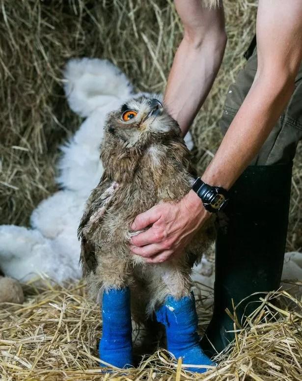Baby Owls Legs : Deformed, Plymouth