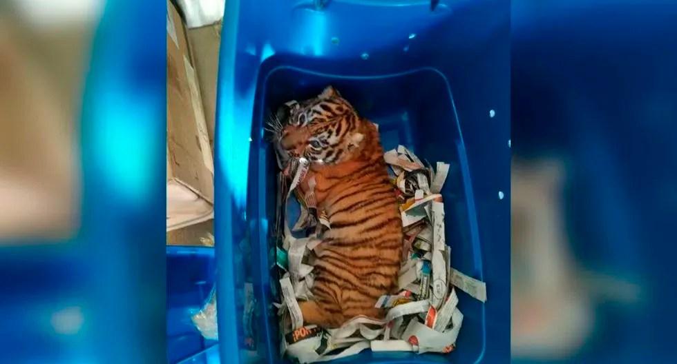 Cachorro de tigre de bengala en una caja