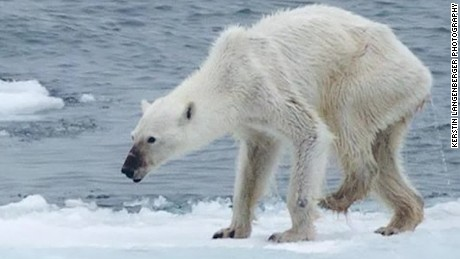 Image result for emaciated polar bear