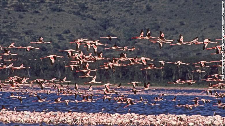 Flock of lesser flamingos in a shallow soda lake of East Africa's Great Rift Valley, Phoenicopterus minor, Lake Nakuru National Park, Kenya, East Africa