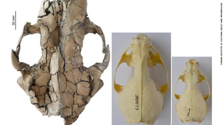 The otter skull fossil found in Yunnan is considerably bigger than its modern cousins.