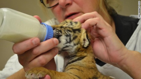 malayan tiger cubs born at cincinnati zoo orig vstan_00000000