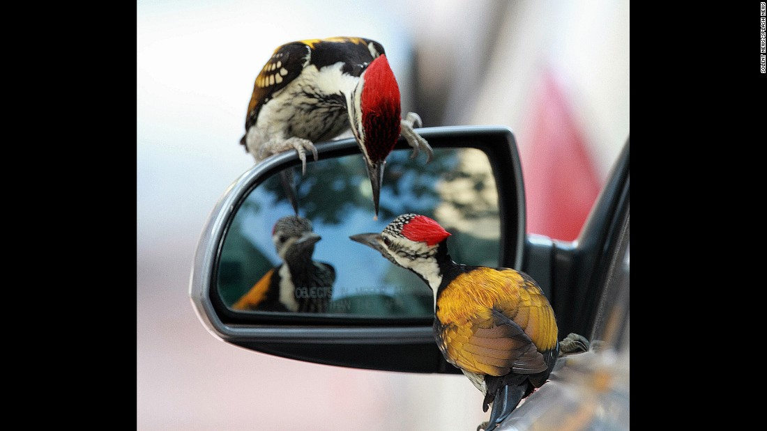 Woodpeckers check out the side-view mirror of a car in Ahmedabad, India, on Tuesday, March 28.