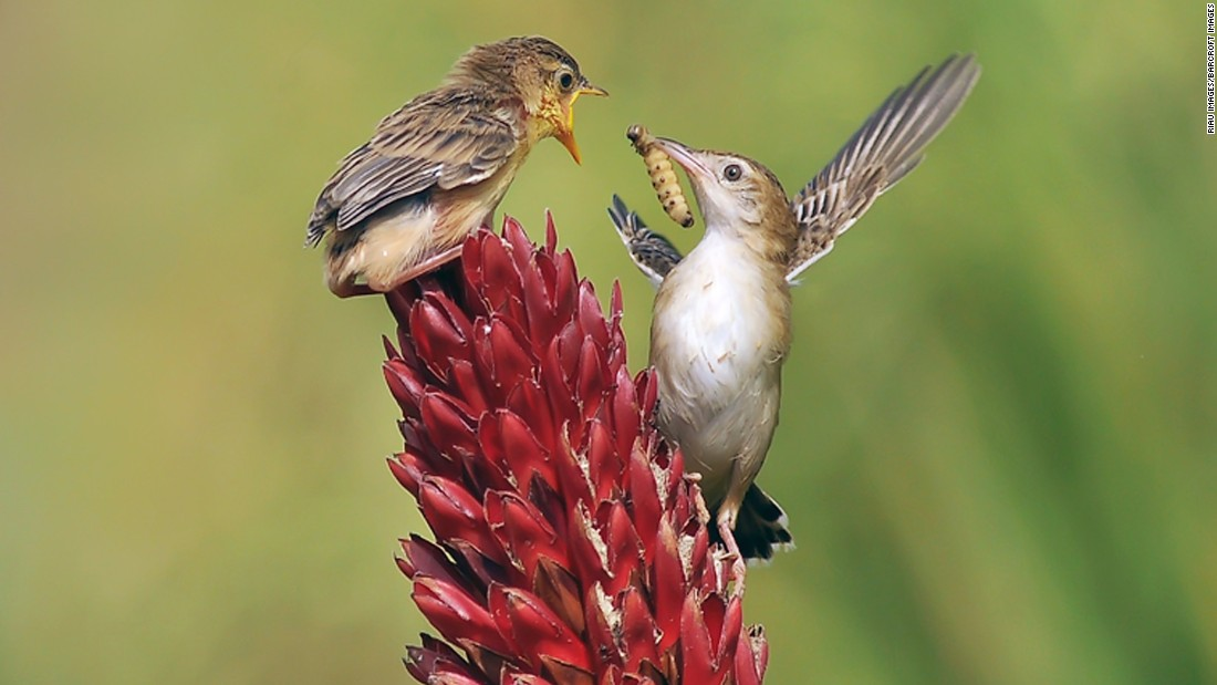 A zitting cisticola feeds its baby in West Sumatra, Indonesia, on Sunday, March 26.
