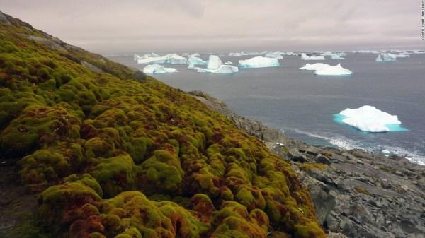 moss turning antarctica's icy