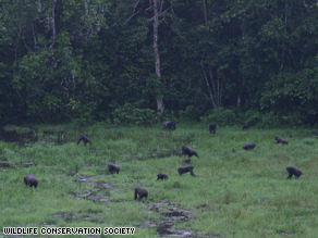 Forest clearings draw large numbers of Western lowland gorillas searching for food.