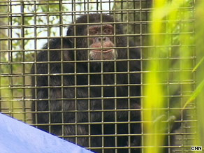 Bubbles, Michael Jackson's former chimp, is enjoying retirement at a Florida sanctuary.