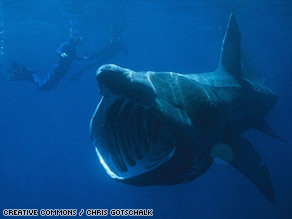 Despite growing to over 10 meters in length, basking sharks have often eluded close scientific study.