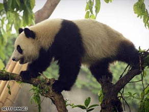 Giant pandas are more endangered than ever, since the 2008 Sichuan earthquake.