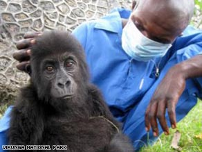 This baby gorilla was rescued from a suspected trafficker in the Democratic Republic of Congo.
