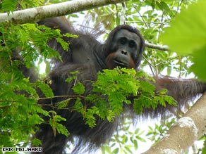 The orangutans were discovered in a mountainous corner of Indonesia.