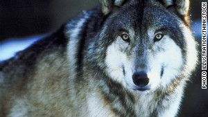 Wild wolf populations are making a comeback across the United States.