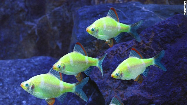 """Advances in biotechnology allow scientists to modify animals in ways that nature did not intend. <a href='http://www.glofish.com/' target='_blank'>GloFish</a> carry a fluorescence gene that makes them """"glow"""" under a black light in a darkened room."""