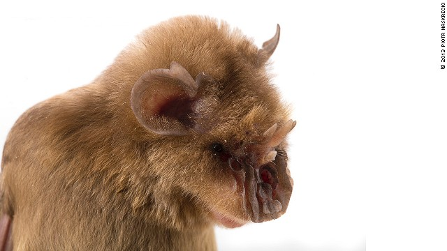 "In April a team of scientists embarked on the first comprehensive biodiversity study in Gorongosa National Park, Mozambique. Pictured is the ""Chewbacca bat"" (Triaenops persicus) -- which was given its nickname because of its resemblance to the Star Wars character."