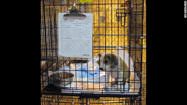 The American Society for the Prevention of Cruelty to Animals converted an air-conditioned warehouse into a temporary shelter to care for 253 of the dogs. Many of the puppies were found in 90-degree heat with no water and attached to chains twice their weight.