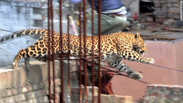 Big cat spotted in Indian city injures 7 evades capture