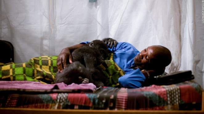 Mapendo, an orphan lowland gorilla, gets into bed with her caregiver in Goma.