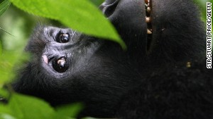 A gorilla in its Ugandan rainforest home ... Who you telling Africa's all desert?