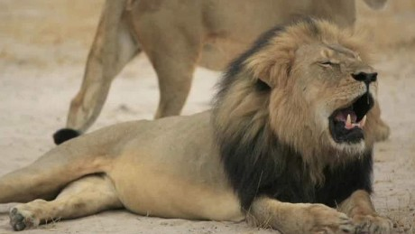 cecil the lions brother jericho shot dead in zimbabwe corwin intv nr_00003826