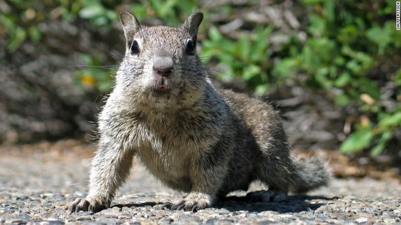 A California Ground Squirrel is seen in this image. This squirrel was not the one that allegedly shut down a polling station in Ohio.