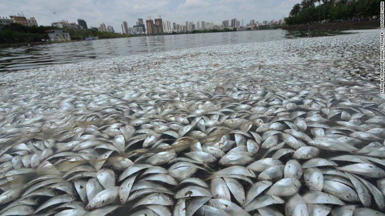 Dead fish blanketed parts of a Chinese lake on Wednesday.