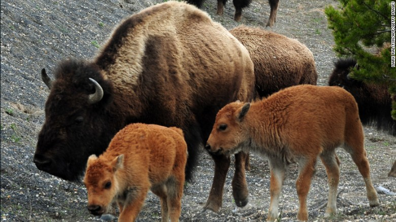 American Bison (also known as Buffalo) and their calves, forage for food at Yellowstone National Park, Wyoming on June 1, 2011.