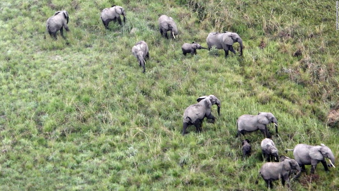 A herd of elephants as seen from a survey plane flying overhead.