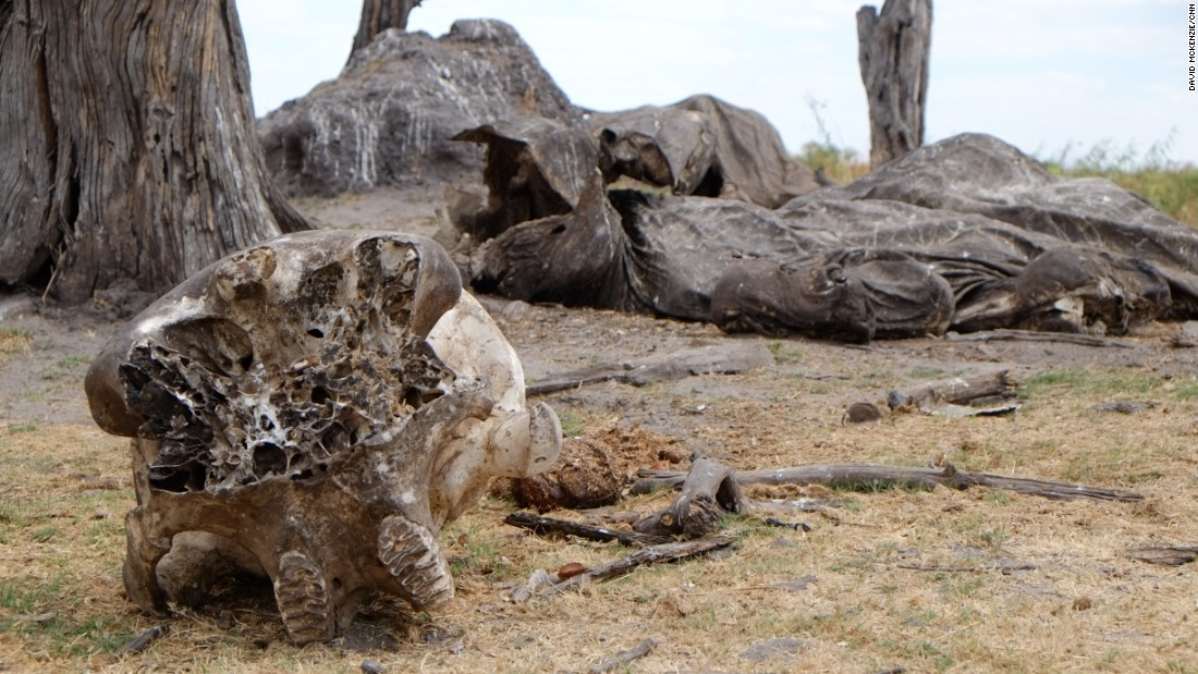The remains of an elephant carcass on the border of Botswana and Namibia.