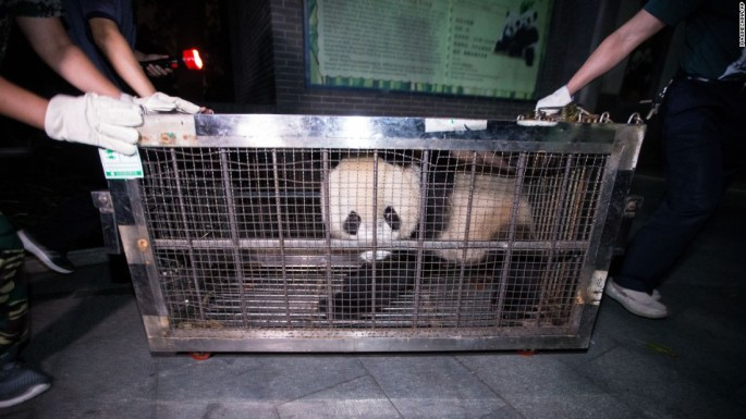 A panda named Chengjiu is transported to the panda hall at China's Hangzhou Zoo on Tuesday, September 20.