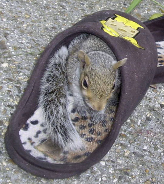 Slipper Squirrel