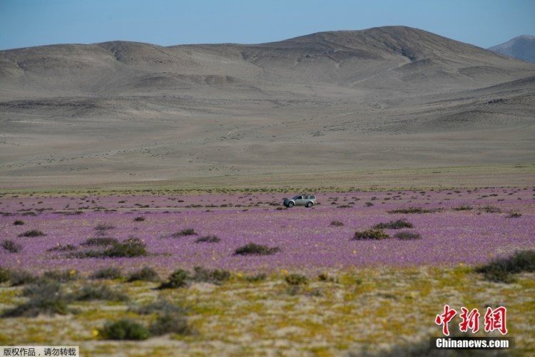 The Chilean desert has a sea of pink flowers