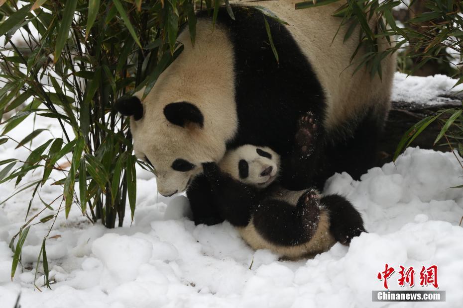 成都大熊貓基地為大熊貓專門造雪玩耍-中新網