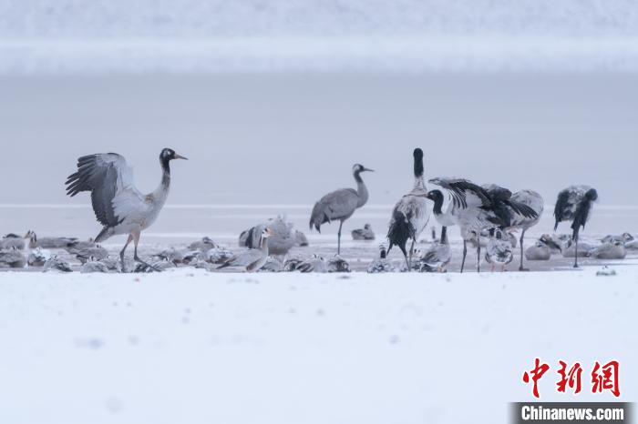 "130219660 zsite - Super beautiful! Black-necked cranes ""dancing lightly"" in the snow"