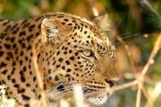 leopardludo1.184828.jpg