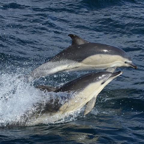 Common dolphins in UK seas