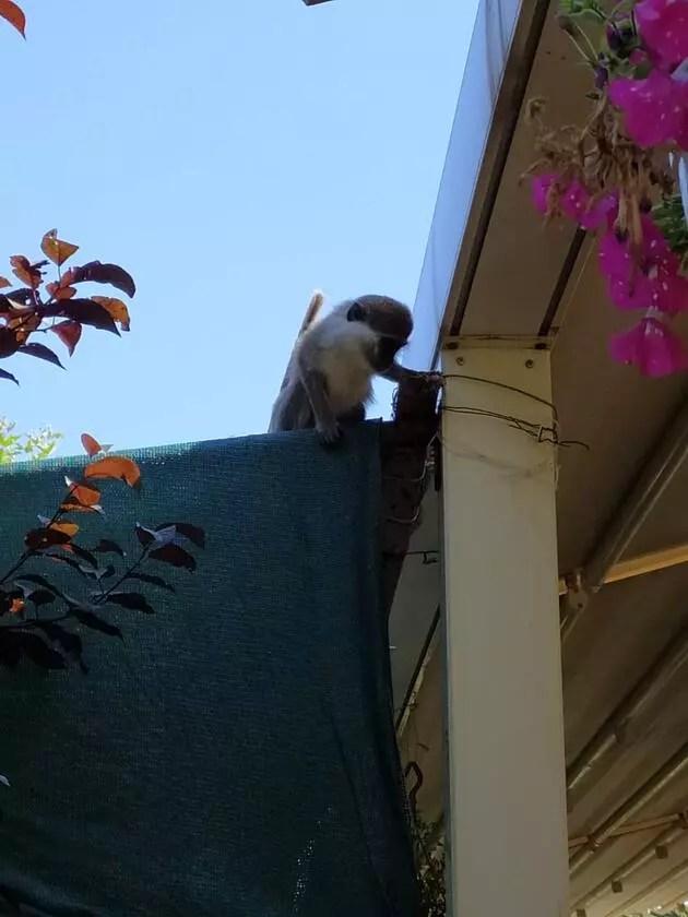 Neye uğradıklarını şaşırdılar! Kafede otururken masaya maymun düştü