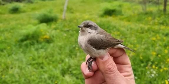 Küçük kuşların şaşırtan yolculuğu; 8 gram bir kuş, Karadeniz'i bir gecede geçebiliyor